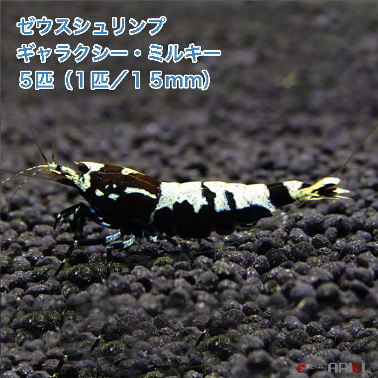 ゼウスシュリンプ  ギャラクシー・ミルキー  5匹(1匹/約1.5cm)