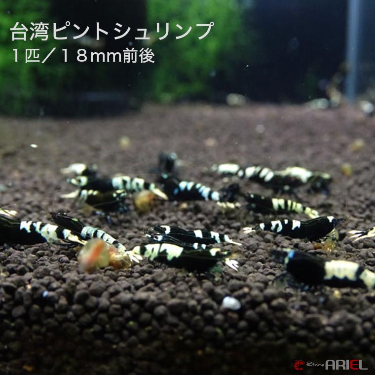 台湾ピントシュリンプ 1匹/約1.8cm