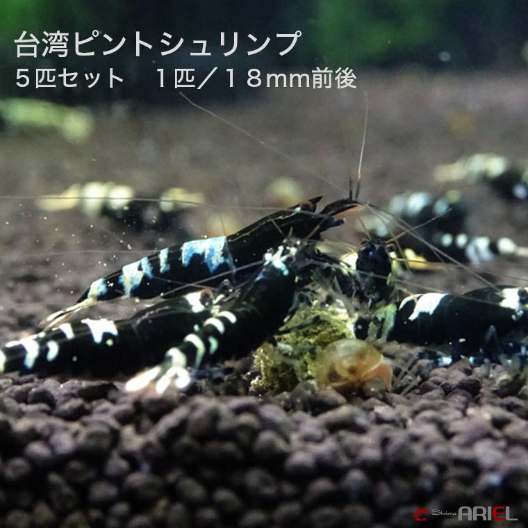 台湾ピントシュリンプ 5匹セット 1匹/約1.8cm