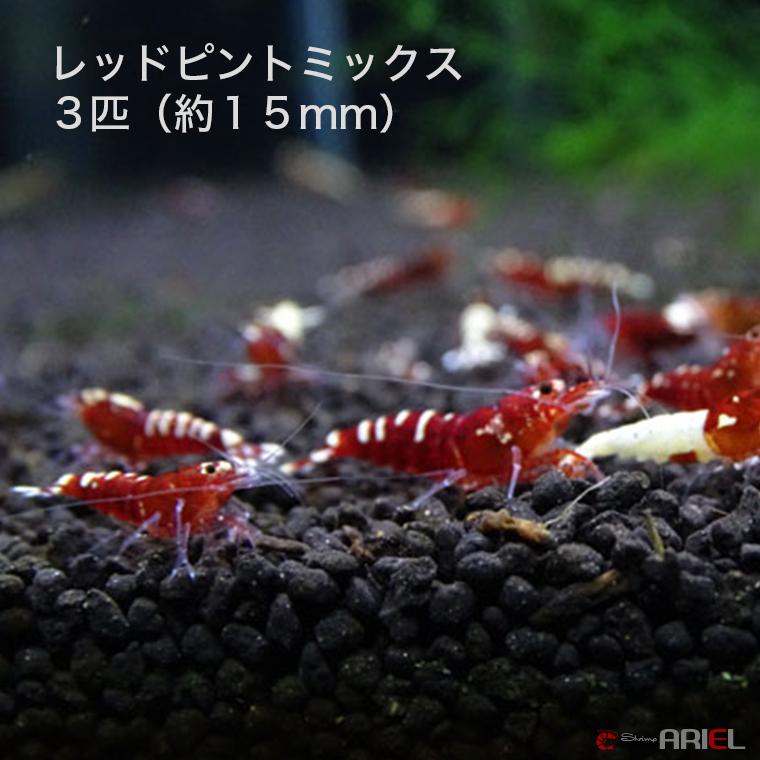 レッドピントミックス 若親個体 10匹 (約15mm)