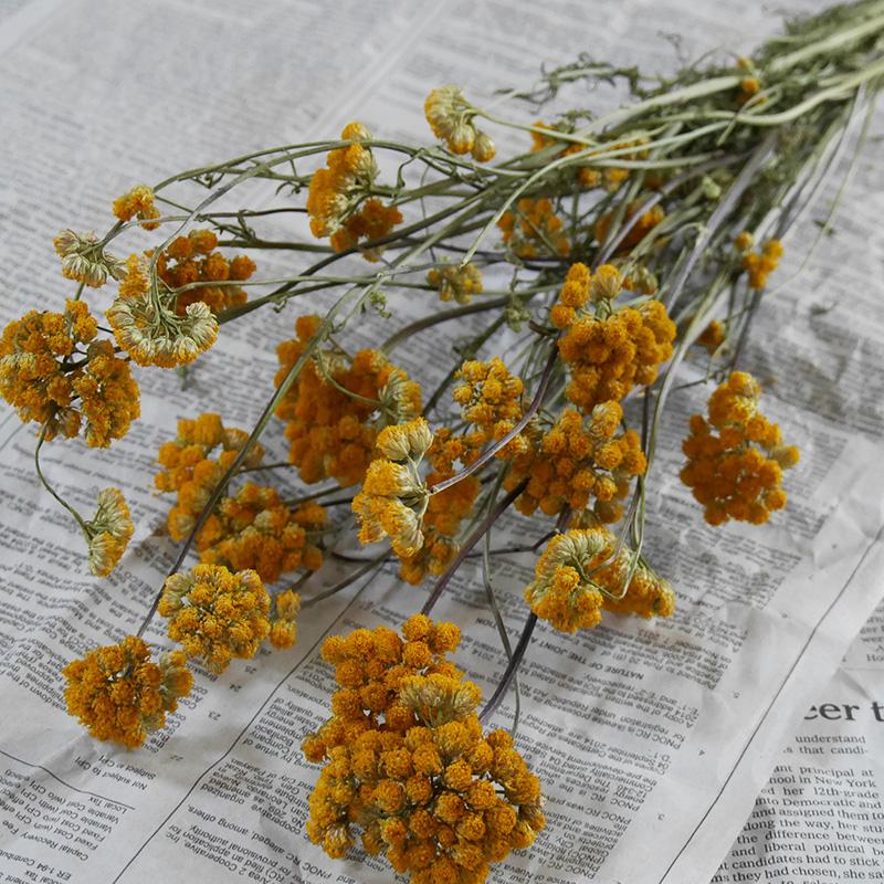黄色い丸いお花がナチュラルな北海道産ローナスのドライフラワー ローナス 40%OFFの激安セール 北海道産 ドライフラワー 花材 高い素材 リース 手作り 国産 イエロー ナチュラル ハーブ 素材 インテリア 黄色 材料