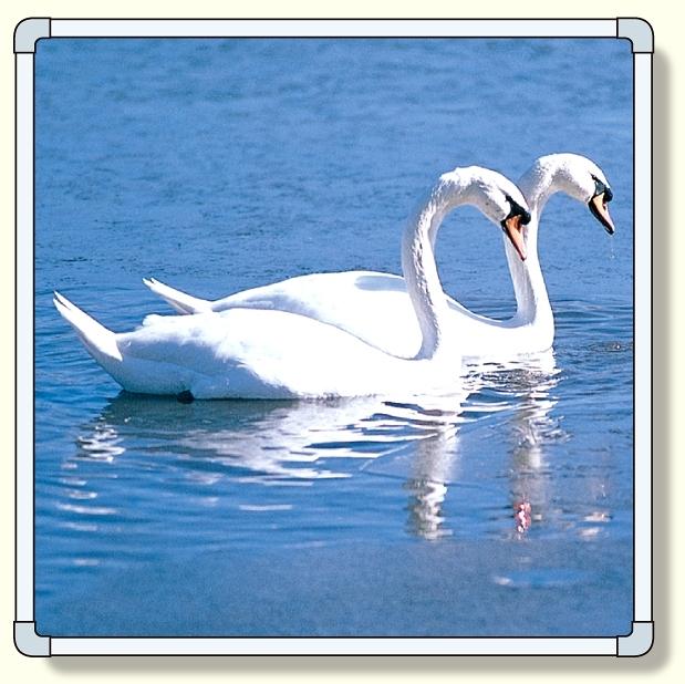 【送料無料♪】フォトパネル1 白鳥 小サイズ 870×870mm (安全用品・標識/安全標識/環境美化標識)