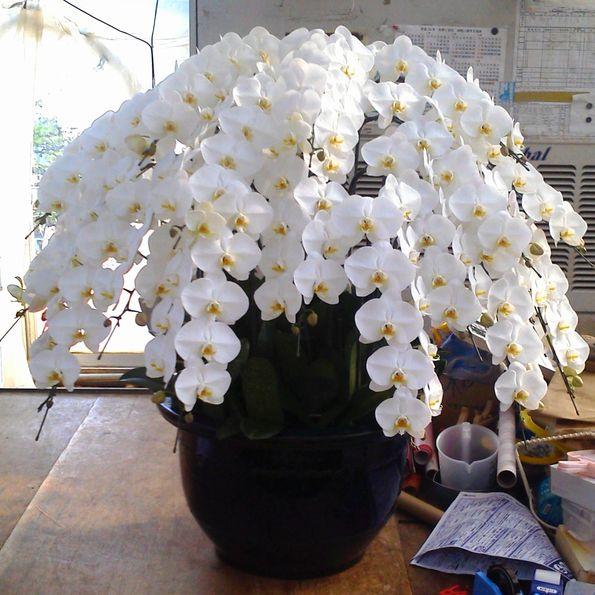 20本仕立て 白の花の胡蝶蘭200輪~【神奈川県だけの配送に限ります】