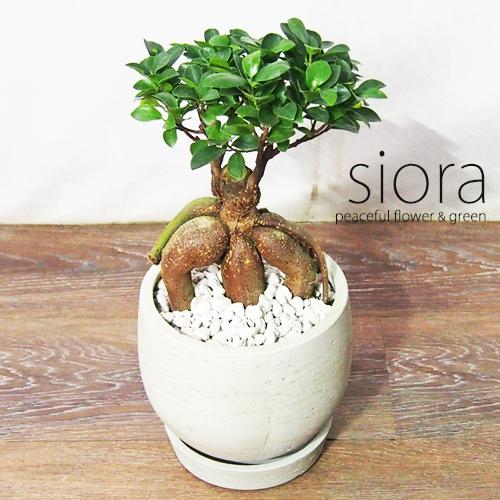 倉 新入荷 ガジュマル 現品お届け 樹形選べます ぷりぷりガジュマル インテリアグリーン セメントボールポット植え 観葉植物 特別セール品 受皿付き