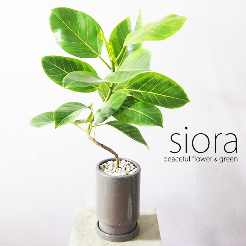 直輸入品激安 新入荷 アルテシーマ ゴムの木 現品お届け 樹形選べます 安心と信頼 フィカス インテリアグリーン 一部地域除く 螺旋曲がりタイプ+フロウトールポットSサイズ 送料無料 観葉植物