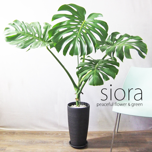 新入荷 モンステラ 現品お届け 樹形選べます インテリアグリーン 人気ブレゼント! 注文後の変更キャンセル返品 デリシオーサ+強化ロングプラポット植え 観葉植物