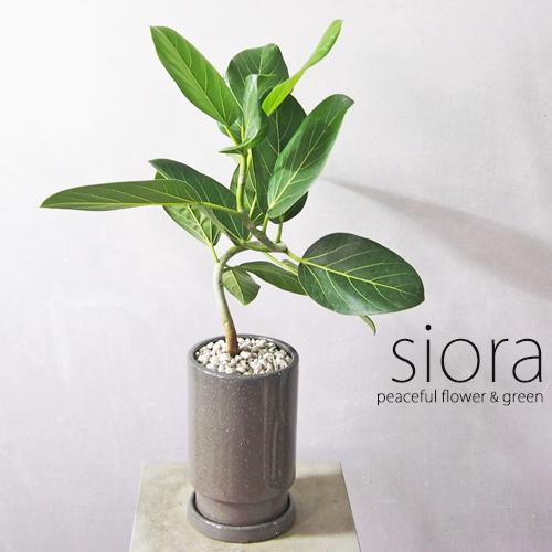 新入荷 100%品質保証! ベンガルゴムの木 現品お届け 買物 樹形選べます フロウトールポット 陶器製 受皿付き 観葉植物 一部地域除く インテリアグリーン 送料無料