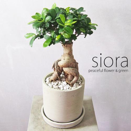 モデル着用&注目アイテム 新入荷 現品お届け 樹形選べます 超激安 ぷりぷりガジュマル セメントポット植えLサイズ 受皿付き 観葉植物 インテリアグリーン