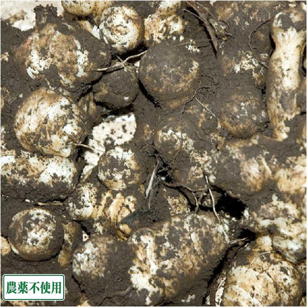 菊芋 (土付き) 20kg 農薬不使用 (青森県 須藤農園) 産地直送