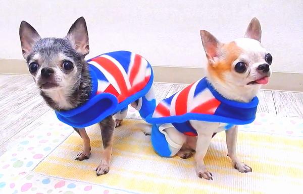 SkipDog!英国国旗E G大衣(奇瓦瓦小型狗西服大衣fleece)