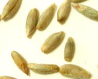 オーガニック 有機JAS認定品 ライ麦粒 新作製品、世界最高品質人気! 10kgバルク 発送まで4日掛かります 他の商品と同梱 日本製 代引き決済不可商品 メーカー欠品の場合はキャンセルとさせていただきます メーカー直送商品