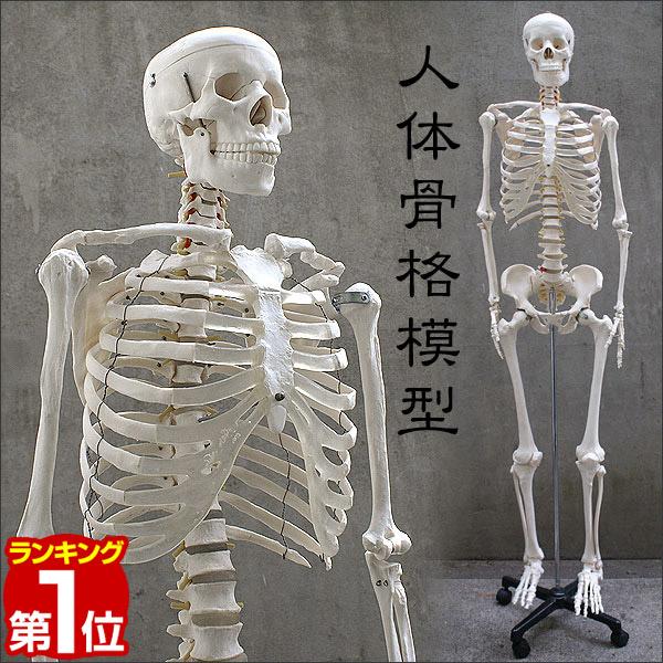 1年保証 リアル 人体模型 約166cm 人体骨格模型 骨格標本 等身大の人体の骨格をリアルに表現!人体骨格模型 ヒューマンスカル 人体模型 模型 人体模型 骨格標本 骨格モデル 整体 整骨院 おもちゃ リアル 小道具 おもちゃ ■[送料無料], 美瑛町:265653f4 --- sunward.msk.ru