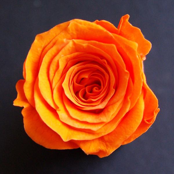 即納 プリザーブドフラワー 花材 数量限定アウトレット最安価格 合計3980円以上 送料無料 プリザ アレンジ 資材 敬老の日 ローズ プリマヴェーラ ベベs ブリザードフラワー 小分け 1輪 バラ オレンジ 割引
