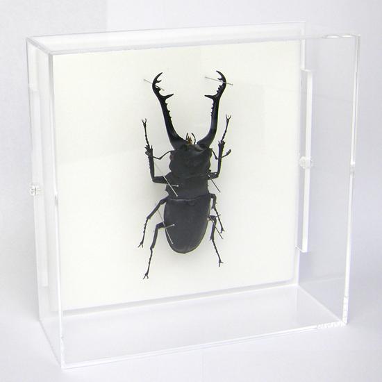 虫の標本 ギラファノコギリクワガタ アクリルフレーム 透明