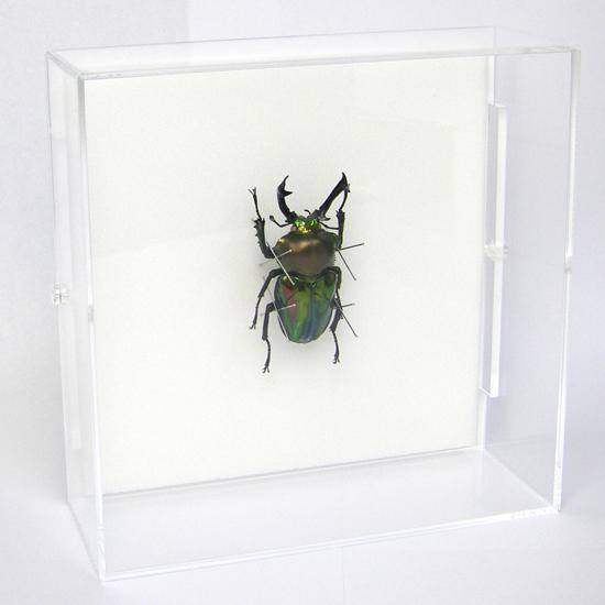 虫の標本 ニジイロクワガタ アクリルフレーム 透明