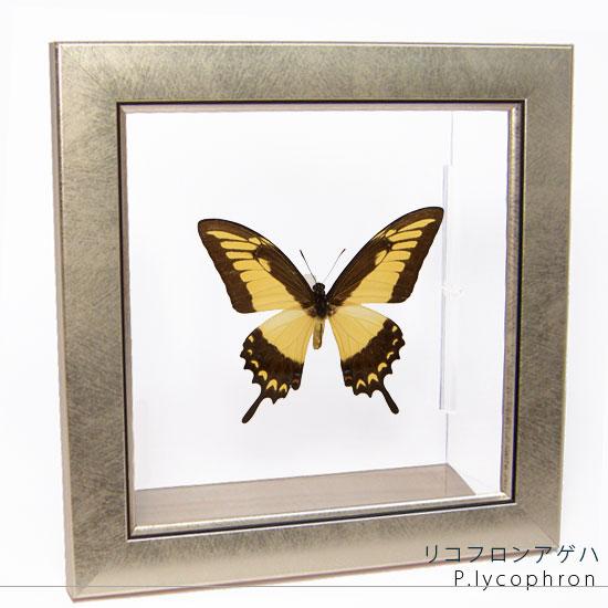 蝶の標本 リコフロンアゲハ メタリック調ライトフレーム