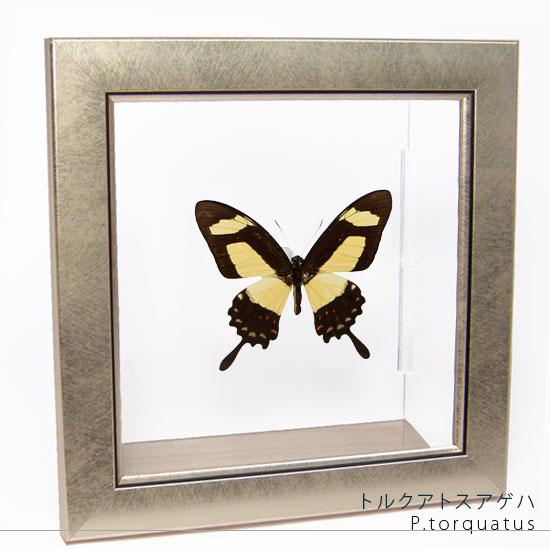 蝶の標本 トルクアトスアゲハ メタリック調ライトフレーム
