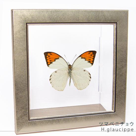 蝶の標本 ツマベニチョウ メタリック調ライトフレーム