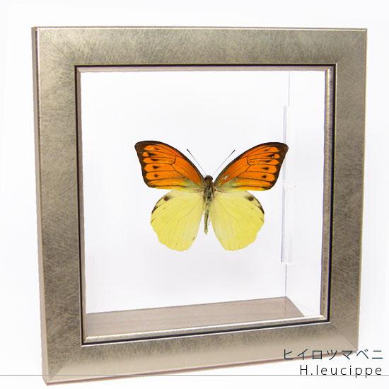 蝶の標本 ヒイロツマベニ メタリック調ライトフレーム