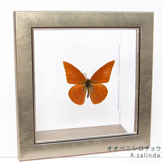 蝶の標本 オオベニシロチョウ メタリック調ライトフレーム