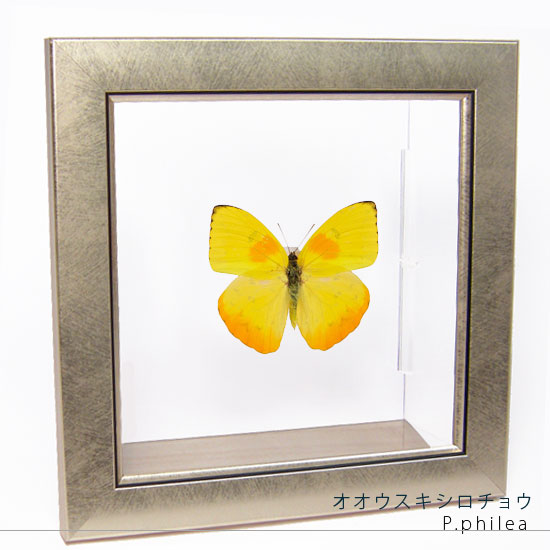 蝶の標本 オオウスキシロチョウ メタリック調ライトフレーム