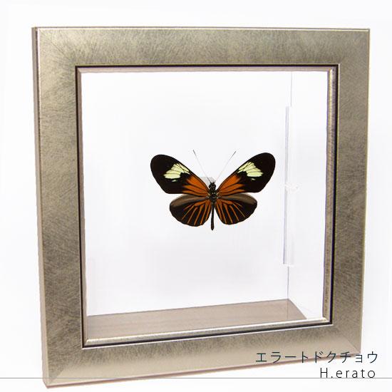 蝶の標本 エラートドクチョウ メタリック調ライトフレーム