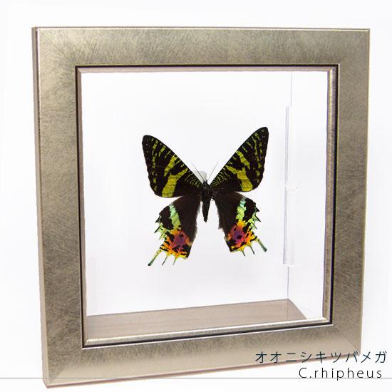 蝶の標本 オオニシキツバメガ メタリック調ライトフレーム