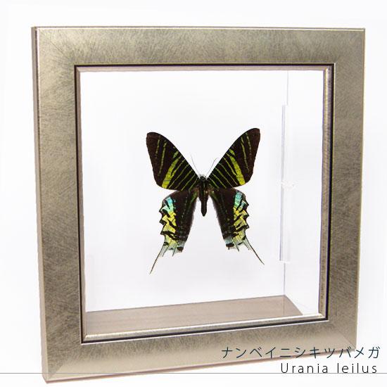蝶の標本 ナンベイニシキツバメガ メタリック調ライトフレーム