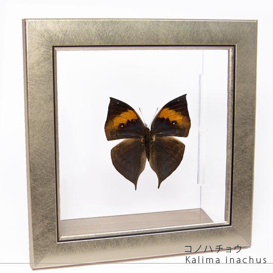 蝶の標本 コノハチョウ メタリック調ライトフレーム