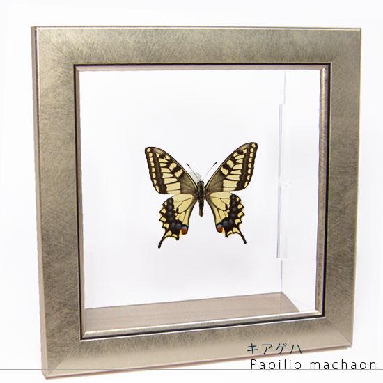 蝶の標本 キアゲハ メタリック調ライトフレーム