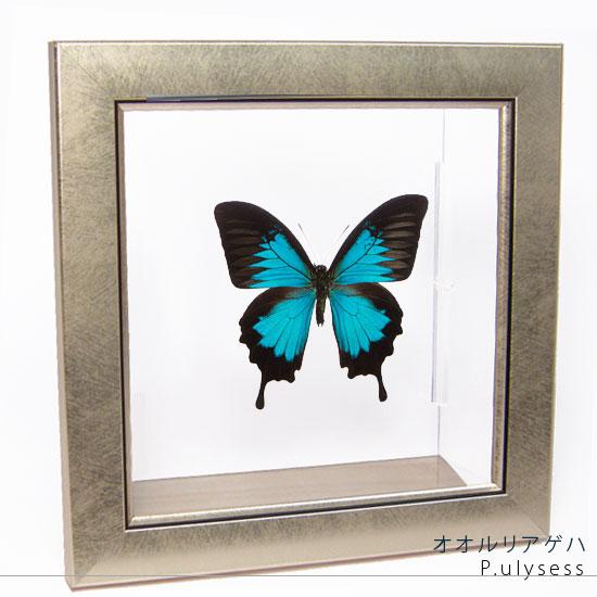 蝶の標本 オオルリアゲハ メタリック調ライトフレーム