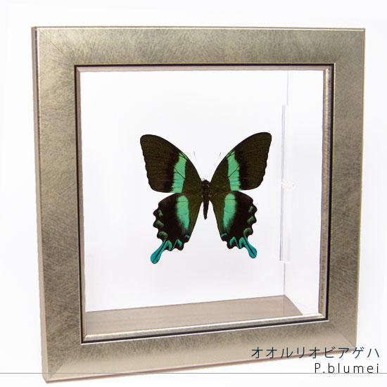 蝶の標本 オオルリオビアゲハ メタリック調ライトフレーム