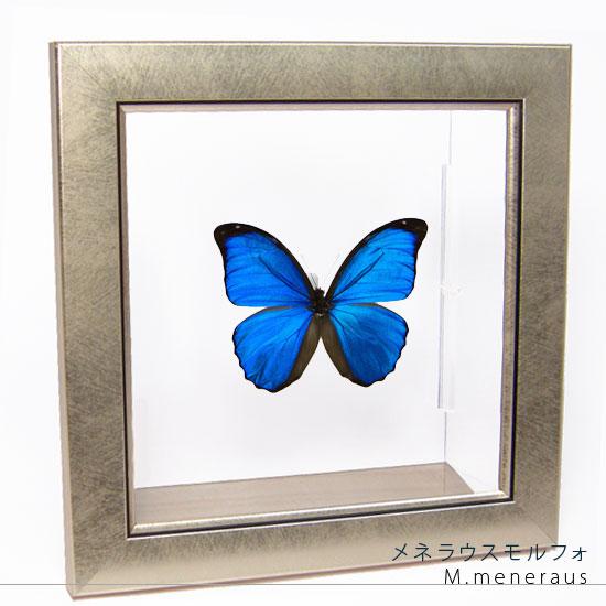 蝶の標本 メネラウスモルフォ メタリック調ライトフレーム