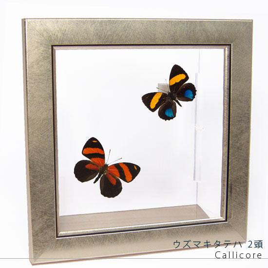 蝶の標本 ウズマキタテハ 2頭 メタリック調ライトフレーム