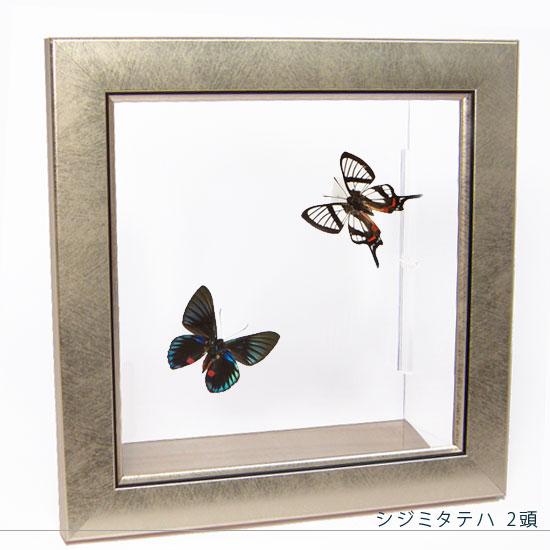 蝶の標本 シジミタテハ 2頭 メタリック調ライトフレーム