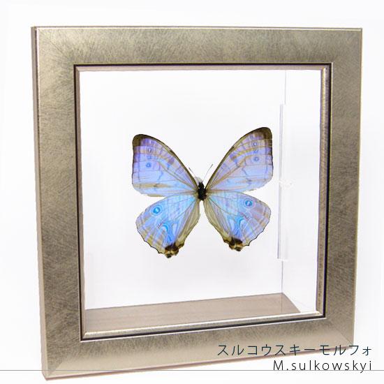 蝶の標本 スルコウスキーモルフォ メタリック調ライトフレーム