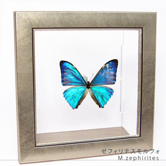 蝶の標本 ゼフィリテスモルフォ メタリック調ライトフレーム