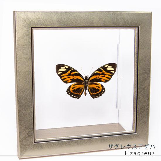 蝶の標本 ザグレウスアゲハ メタリック調ライトフレーム