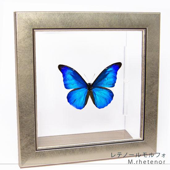 蝶の標本 レテノールモルフォ メタリック調ライトフレーム