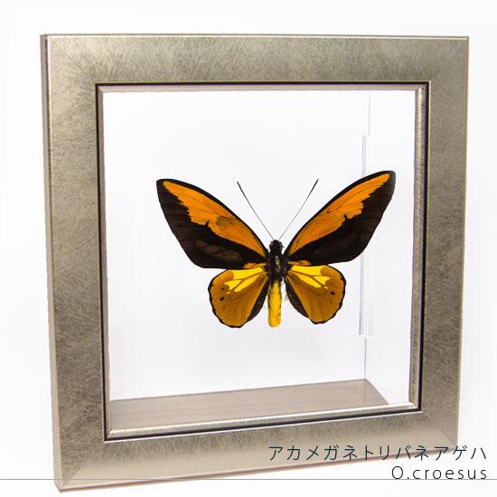 蝶の標本 アカメガネアゲハ メタリック調ライトフレーム