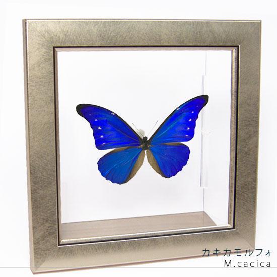 蝶の標本 カキカモルフォ メタリック調ライトフレーム
