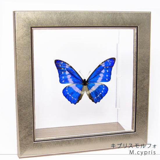 蝶の標本 キプリスモルフォ メタリック調ライトフレーム