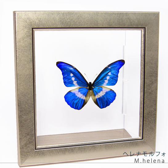 蝶の標本 ヘレナモルフォ メタリック調ライトフレーム