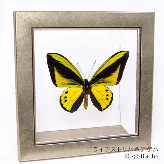蝶の標本 ゴライアストリバネアゲハ メタリック調ライトフレーム