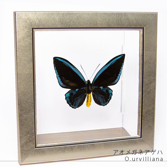蝶の標本 アオメガネアゲハ メタリック調ライトフレーム