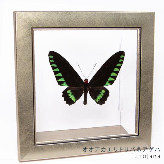 蝶の標本 オオアカエリトリバネアゲハ メタリック調ライトフレーム