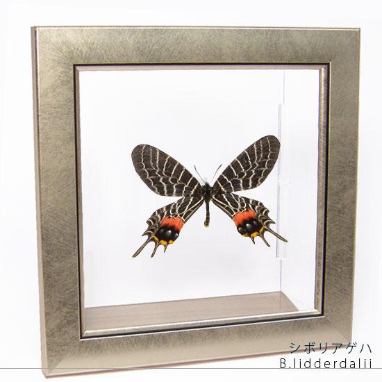 蝶の標本 シボリアゲハ メタリック調ライトフレーム