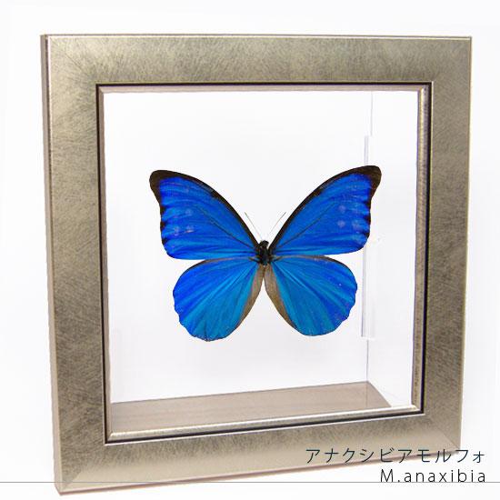 蝶の標本 アナクシビアモルフォ メタリック調ライトフレーム