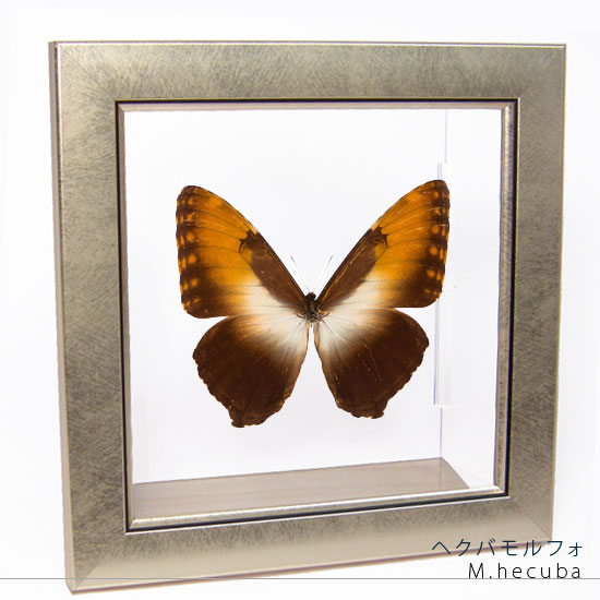 蝶の標本 ヘクバモルフォ メタリック調ライトフレーム