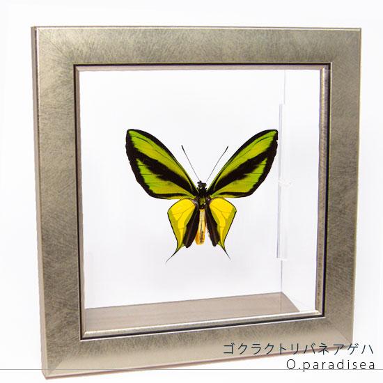 蝶の標本 ゴクラクトリバネアゲハ メタリック調ライトフレーム